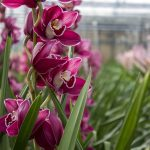 orchidea cassa